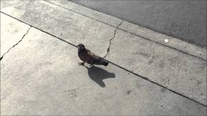 This little pigeon...