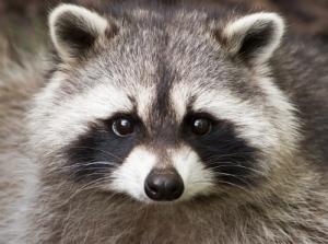 Raccoon[1]